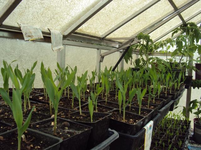 Silver Queen virtually ready to plant
