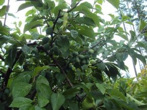 2014-06-29 13.54.50 plums