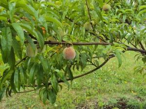 2014-06-29 13.56.00 peaches