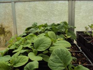 2014-06-29 14.02.15 Stardust Radio ornamental eggplant