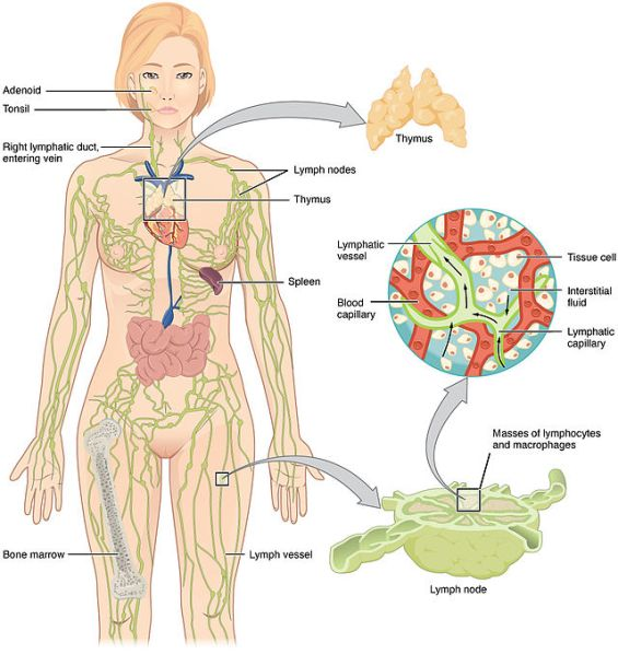 Anatomy_of_the_Lymphatic_System