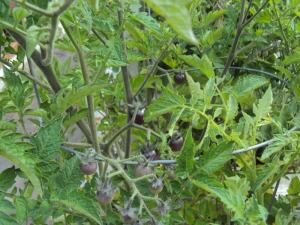 Crazy blueberry cherry tomatoes