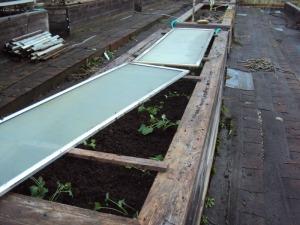 Ungawa. Kale no grow in greenhouse number 4 cheetah. Aruu?