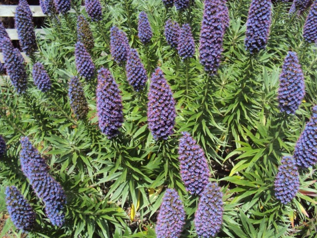 Purple  plants all over Route 1